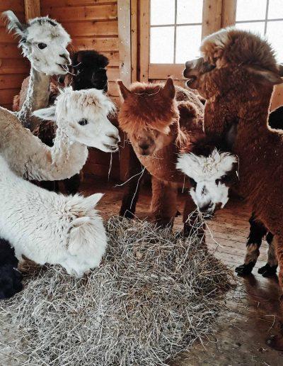 Die ganze Alpaka Bande