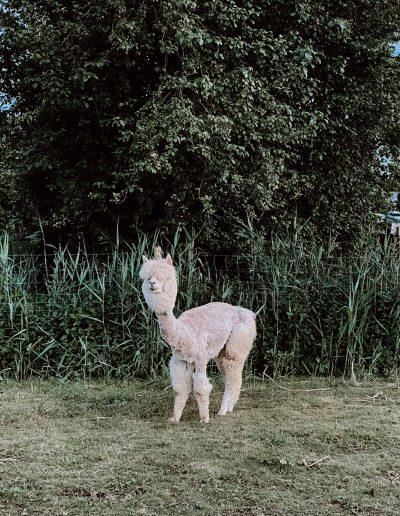 Alpaka geschoren auf der Weide