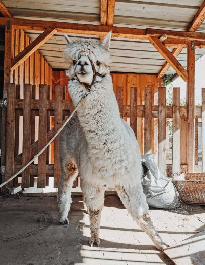 Alpaka vor dem Scheren
